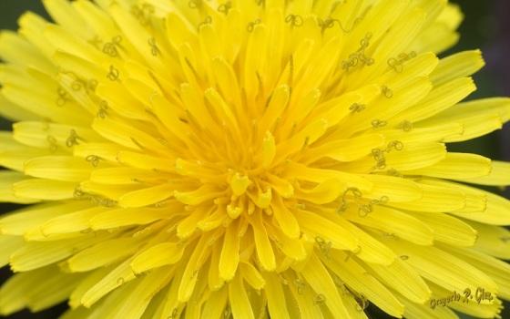DSC_2471-taraxacum-amarillo