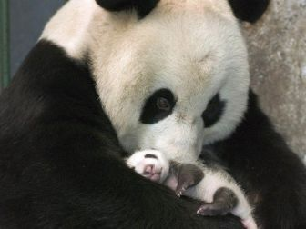 Amor de Madre Panda_800